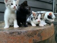 Beautiful Kittens for Sale - ready to leave very soon