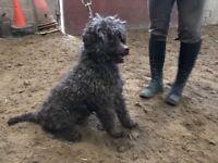 Poodle dog for sale