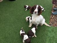 KC REG English Springer Spaniel pups for sale
