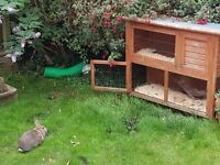 Rabbit needing new home.