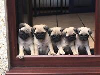STUNNING PUG PUPPIES.