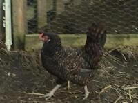 Laying hens
