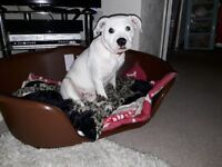Staffordshire Bull Terrier - 8 months old female