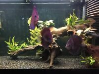 For Sale 3 Large Discus Fish