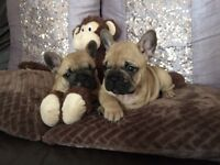 Healthy Quality French bulldog Puppies , Ready from 2 August