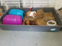 2 guinea pigs for sale both male. Includes cage and everything in it.