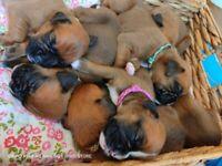 4 Boxer Puppies (3 male 1 female)