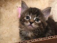 4 kittens for sale ( 2 male 2 female )
