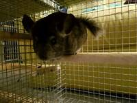 Gorgeous Baby Male Chinchilla and Cage