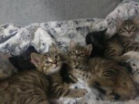 Tabby and Black kittens looking for their forever homes!