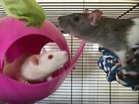 ***GONE*** 2 RATS FREE TO A GOOD HOME