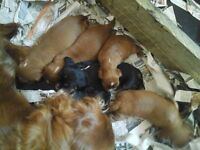 adorable Cavalier King Charles Spannie Puppies