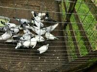 pakistani pigeons