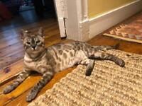 TICA Registered Bengal Cat