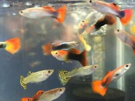 Guppy peaceful tropical Community fish