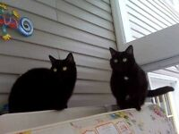 2 Black cats - free to a good home
