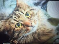 Male tabby cat missing