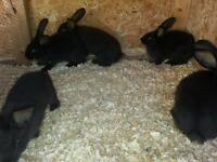 pure large Flemish giant kits