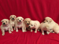 Samoyed Labrador Cross puppies ready in 4 weeks. (Golden Samoyed)