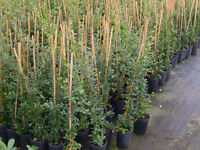 Pyracantha evergreen Hedging 3ft tall,potted caned and tied £5,THE MOST SECURE HEDGE AVAILABL