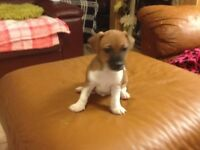 short legged jack russell puppies