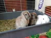3 minilop baby rabbits