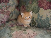 Ginger Kitten All Ginger BOY 9 Weeks Old Beautiful