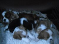 Cavalier King Charles spaniel puppies k.c.registered mixed litter.