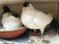 Afghan Pigeon