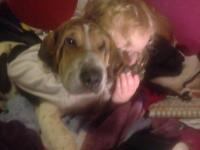 Bashar Bassett hound cross sharpei x