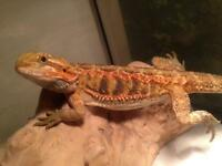 6months old Red female bearded dragon with setup