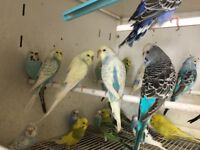 Large selection of budgies for sale