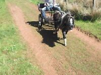 miniature shetland black & white driving mare