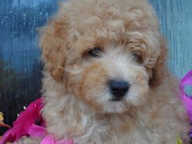 Beautiful pure bred red and apricot toy poodle puppies