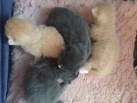 Ragdoll cross Maine kittens