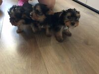 5 MALE YORKSHIRE TERRIER PUPPIES FOR SALE