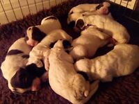 Springer spaniel pups 5 bitches 4 dogs l/w and b/w kc reg mum ready end of may