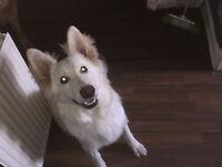 White German Shepherd pup