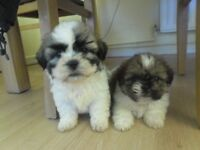 malshi puppies looking for the forever homes