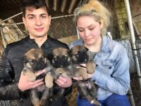 Gorgeous German Shepherds pups Ready to go-Parents Present