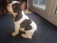 French Bulldog puppies ready to go!