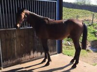 Buzz – 15.2hh – 3yr old gelding – micro chipped and passported.