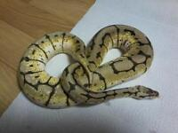 serpents, python royal