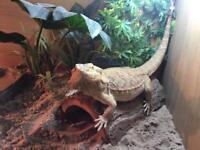 Bearded Dragon & Full vivarium set up