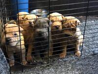 Shar pei puppys only 1 boy left creamy