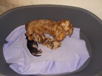 miniature dachschund puppies