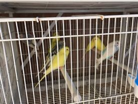 Adult/baby Budgies