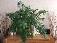 Large Parlour Palm