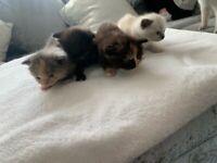 Lilac Point British Short hair cross Kittens