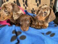 Mini dachshund puppies ready now